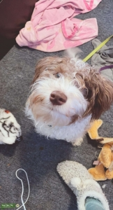 2nd generation silky white and tan Schnoodle Listing Image