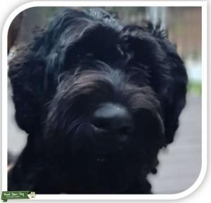 Handsome Black Giant Schnauzer Listing Image