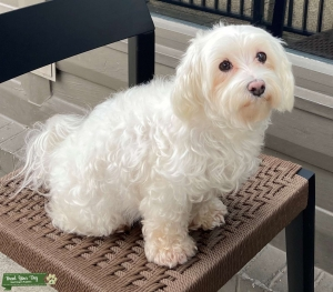 Looking for a Handsome Maltese boy Listing Image
