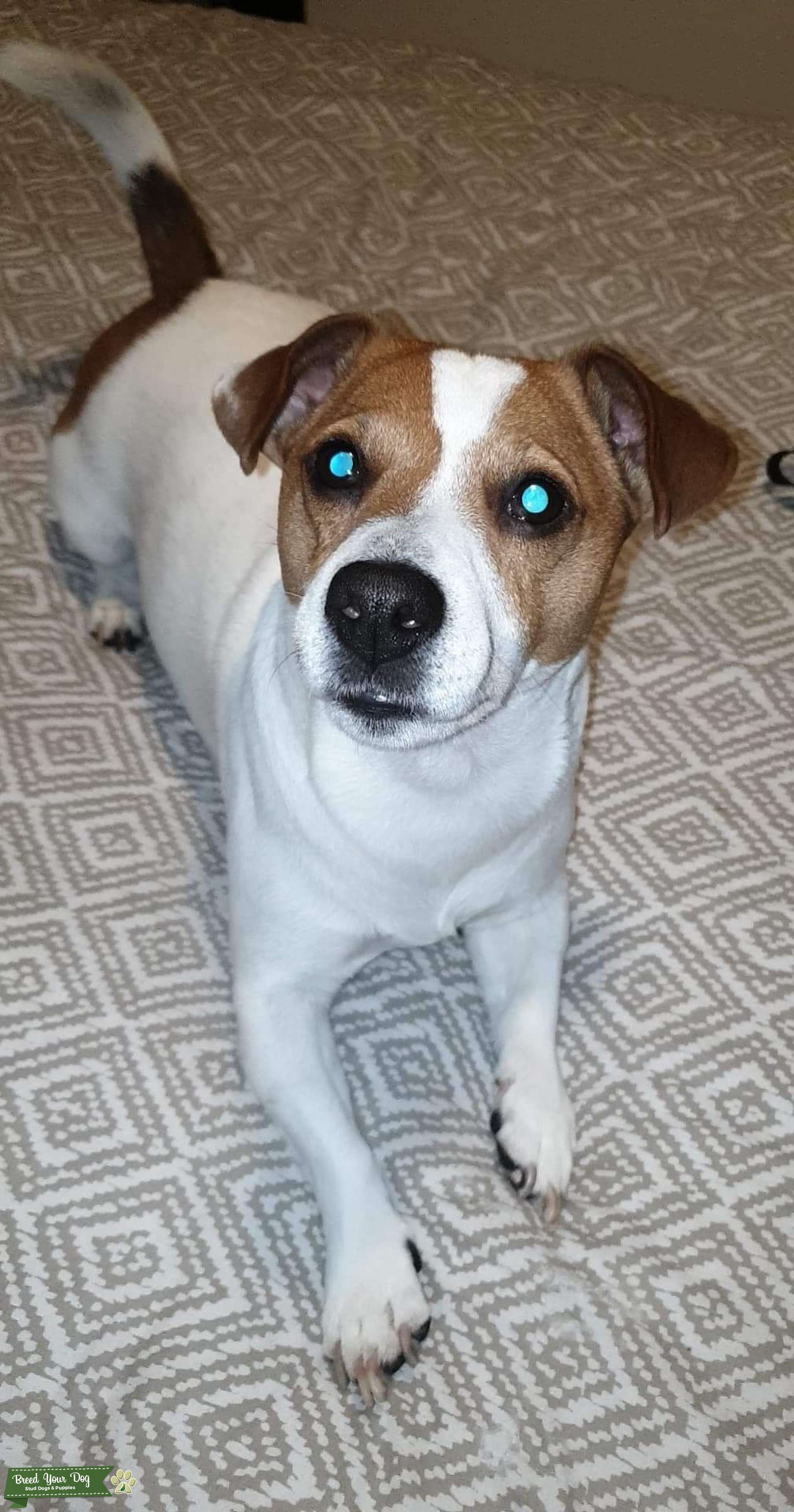 Jack Russell white with brown patches over the eyes beautiful dog  Listing Image Big