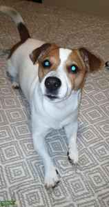 Jack Russell white with brown patches over the eyes beautiful dog  Listing Image