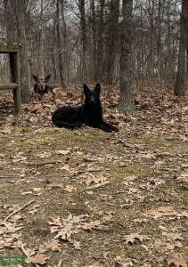 Black GSD looking for stud Listing Image