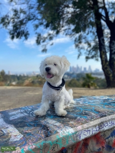 Strong Maltese looking for a girlfriend Listing Image