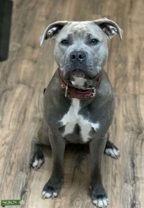 Female Pitbull ready to breed! Listing Image