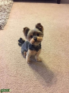 German bred Yorkie looking to have puppies Listing Image