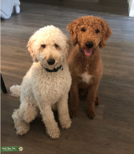 Red and White Labradoodles Listing Image