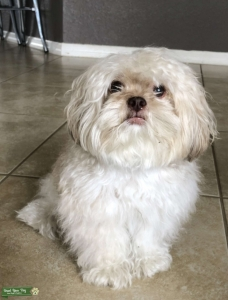 male shih tzu/poodle mix! NO STUD FEE! Listing Image