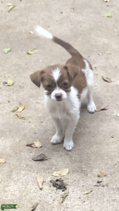 Terrier Chihuahua  looking for a boyfriend Listing Image