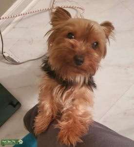 Female Yorkie looking for a Stud Listing Image