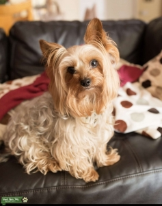 Yorkie looking for the mother of my babies!  Listing Image