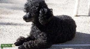 Teacup poodle stud  Listing Image
