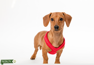 Smooth Haired Red Dachsund Stud Listing Image