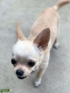 100% Chihuahua - Champion Bloodlines Listing Image