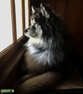 Male Pomsky looking for a girlfriend Listing Image