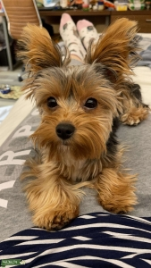 9 month old Yorkshire Terrier  Listing Image