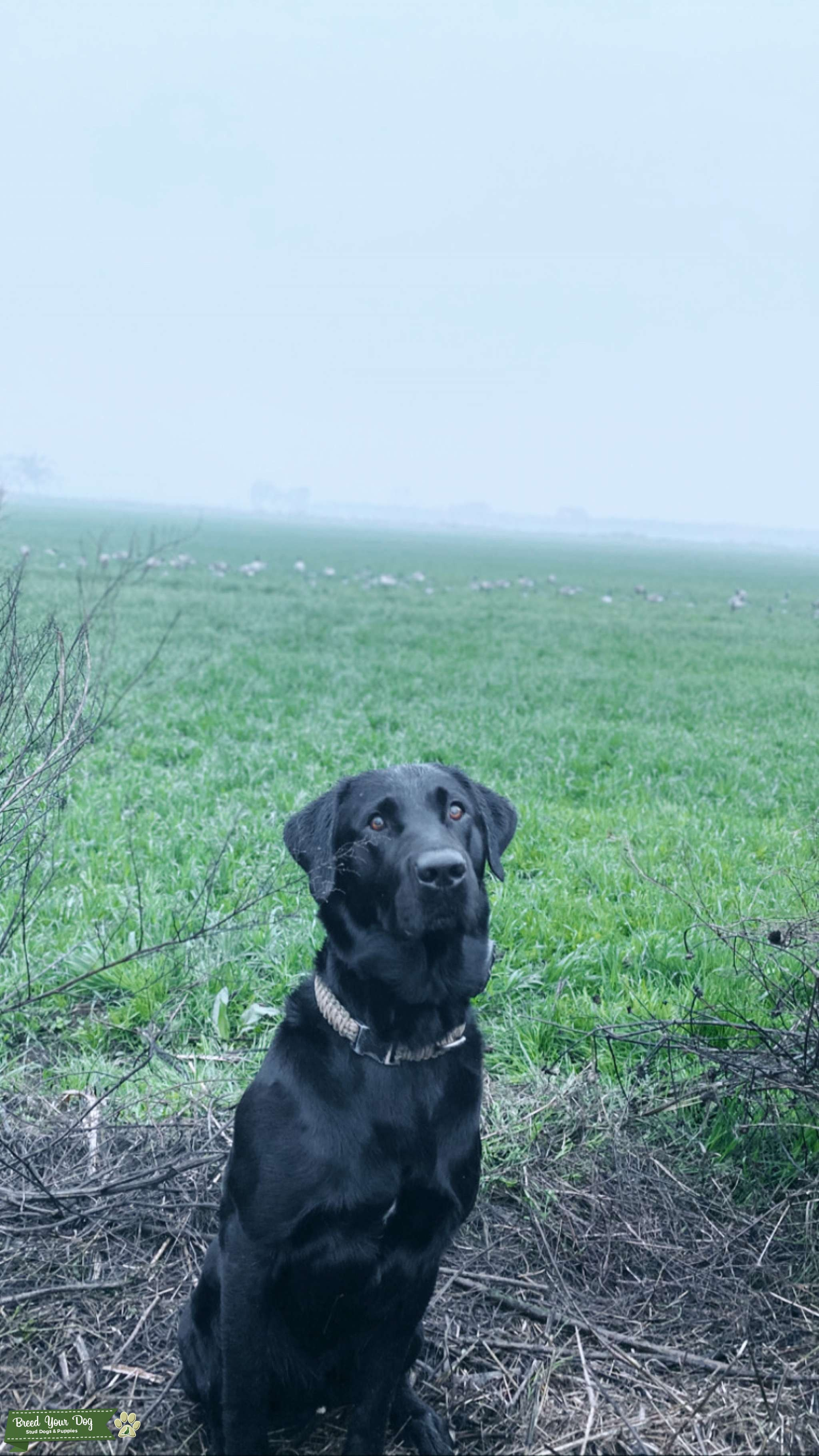Black Labrador  Listing Image Big