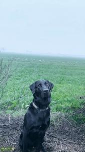 Black Labrador  Listing Image Thumbnail