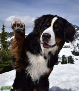 Bernese Mountain Dog - Happy, Friendly, and Great Markings Listing Image