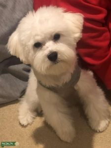 Looking For A Full Bred Maltese To Mate Listing Image