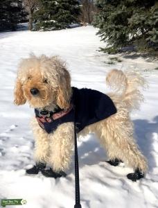Miniature Poodle Beige Listing Image