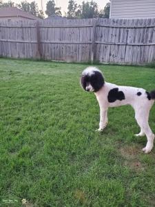 Black & white standard parti poodle  Listing Image