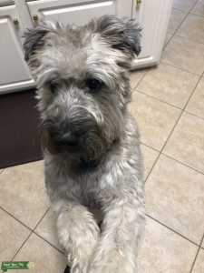 Looking for female of same breed Listing Image