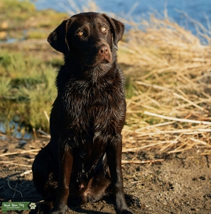 Chocolate Labrador retriever  Listing Image