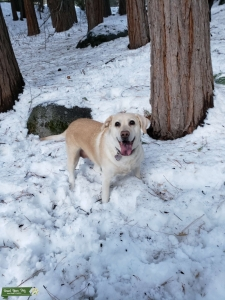 Looking for Labrador Male Stud Listing Image
