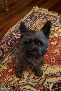 Oairn Terrier Female looking for stud Listing Image