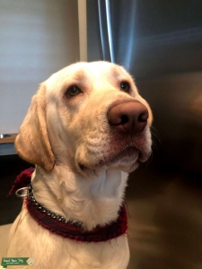 White Dudley Labrador Male Looking for Female to Breed Listing Image