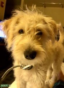 Terrier Poodle Mix Listing Image