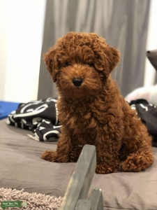 Pure Red Toy Poodle Stud  Listing Image