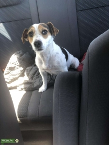 Calm and intelligent Female jack russel  Listing Image