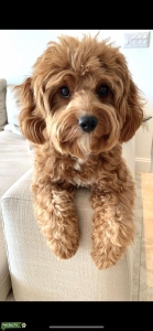 Brown/Red Cavapoo with white marks  Listing Image
