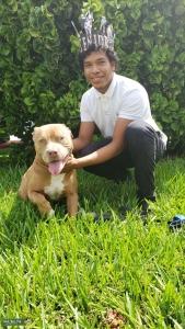 American bulldog mix with pitbull Listing Image