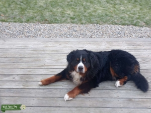 looking to stud my Bernese Mountain Dog Listing Image