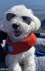 Handsome Maltese is looking for a bride Listing Image