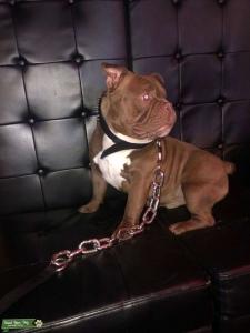 Movie Star Duke Up For Stud . Listing Image
