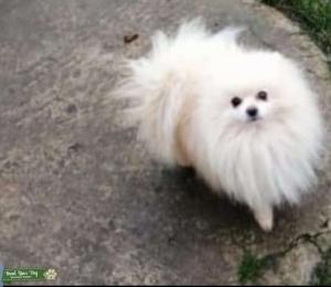 Pomeranian for stud  Listing Image