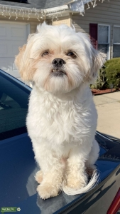 Shih Tzu looking for a Female!!  Listing Image