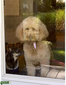 GOLDENDOODLE STUD WANTED Listing Image