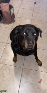 Looking to breed my full breed rottie in mid July  Listing Image