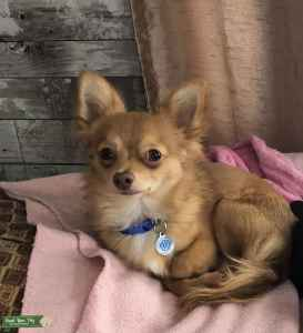 Long haired chihuahua AKC registered Champion blood lines Listing Image