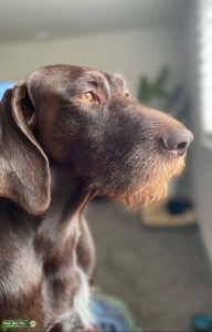 German Wirehaired Pointer - Retired EDC  Listing Image