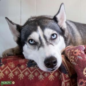 AKC Registered Blue Eyed Siberian Husky Listing Image