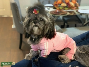 Sweet and loving Shih tzu dog looking  to mate  Listing Image
