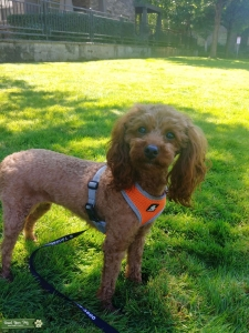 Apricot Toy Poodle Listing Image