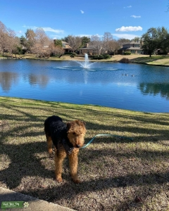 Airedale for stud Listing Image