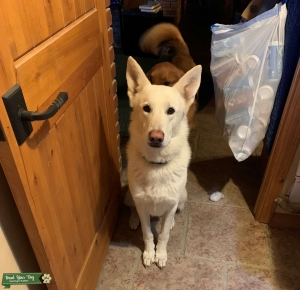 White German Shepherd Listing Image