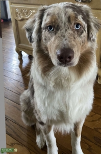 Red Merle Stud looking for Tri colored female Listing Image